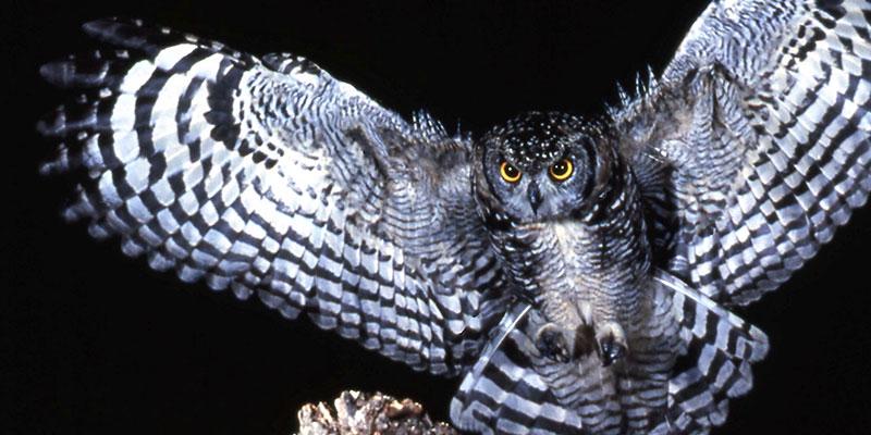 birds, birding, talk, lecture, learn, owl, raptor,,